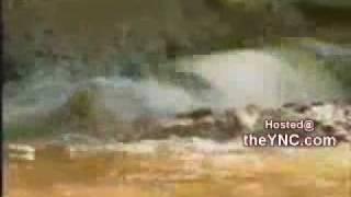 giant crocodile swallows an entire gazelle in one gulp