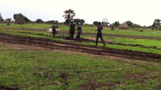 Residents of Tonj North Receive Oxen