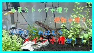 【アクア】ブラックゴースト、ロイヤルファロウェラが来た【水槽紹介】