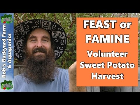 FEAST or FAMINE?  Volunteer Sweet Potato Experiment Harvest