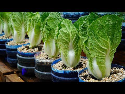 Mẹo vặt trồng cải thảo lớn nhanh như thổi   Tips to grow napa cabbage grow as fast as blow