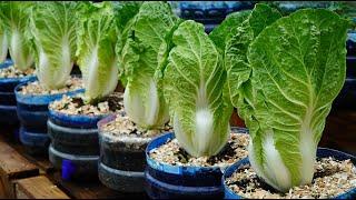 Mẹo vặt trồng cải thảo lớn nhanh như thổi | Tips to grow napa cabbage grow as fast as blow