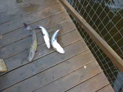 Smash Tech Baits Gizzard Shad Line Thru 7 inch. Caught a Catfish too!!! from YouTube · High Definition · Duration:  4 minutes 4 seconds  · 280 views · uploaded on 8/2/2017 · uploaded by Bassbruiser71