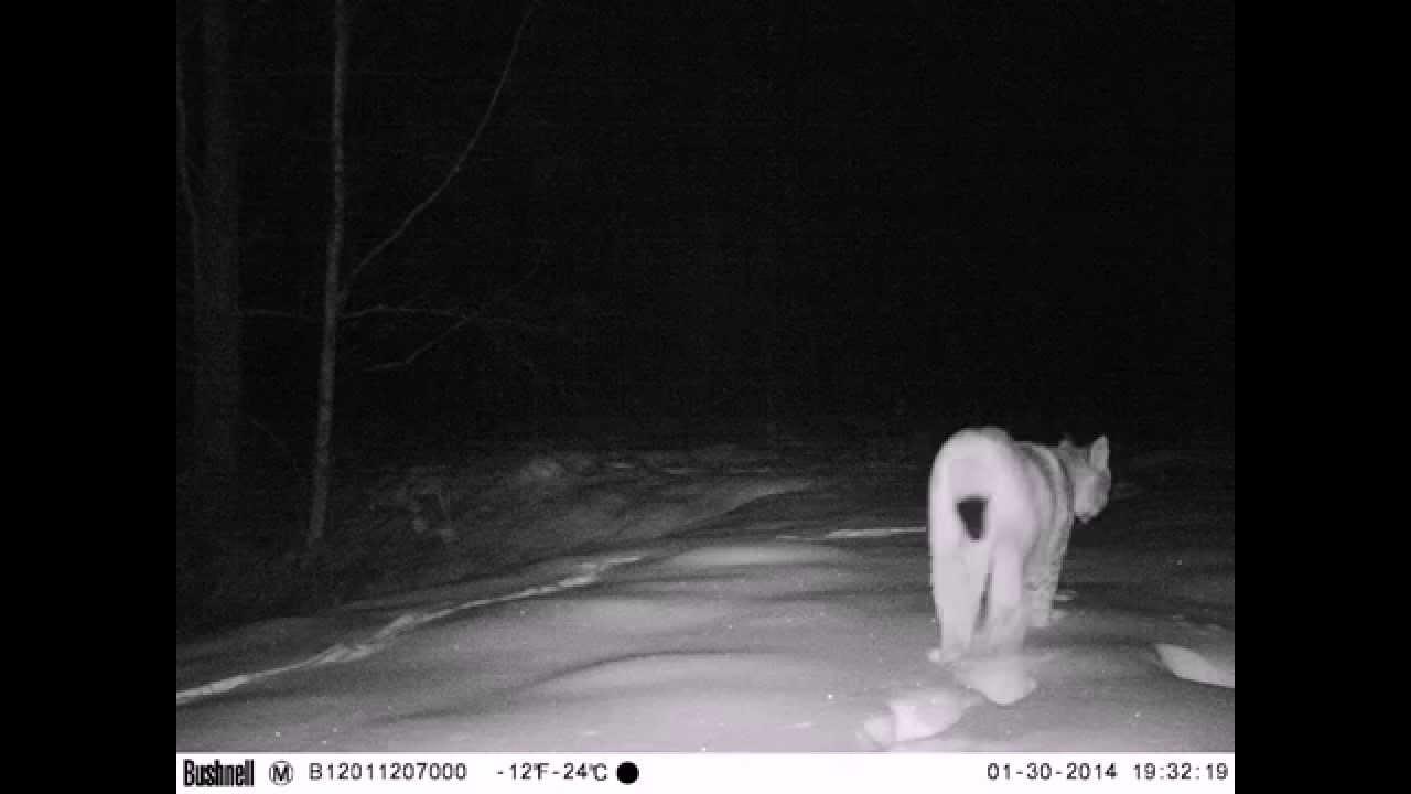 Рысь - ночные фото животного Lynx night