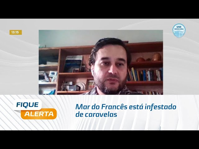 Mar do Francês está infestado de caravelas