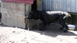 Не нормальная реакция собаки на косточку