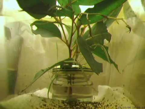 Children S Stick Insect Time Lapse 6 Weeks Youtube