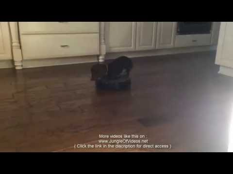 Dachshund goes for a ride on a roomba