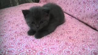 Шотландский котёнок мальчик (окрас: серый)