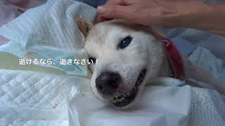 柴犬ミッチー、永眠