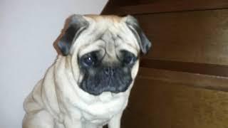 パグ犬ムゥは,小さい頃に階段から転げ落ちてそれから家の階段は登ること...