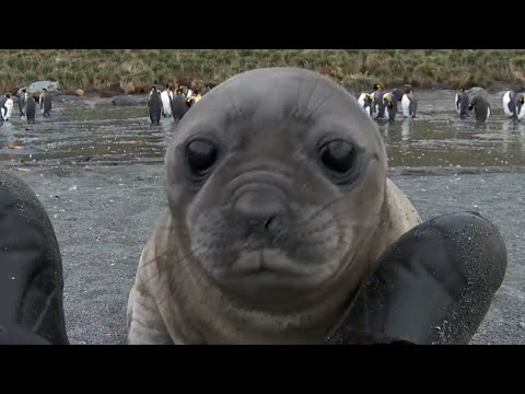 Elephant Seal Rolls Down Hill