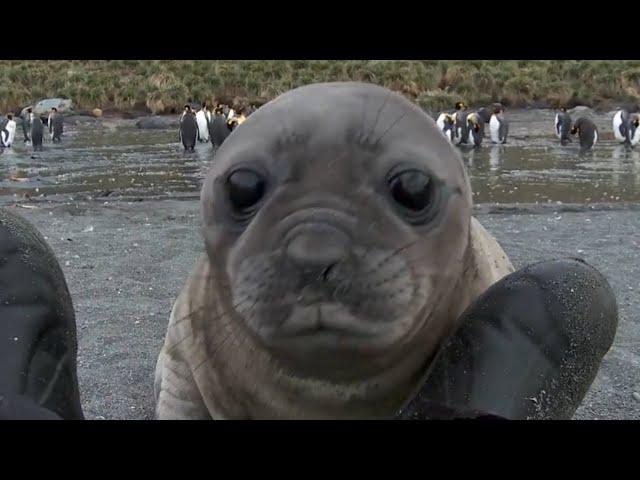 Elephant Seal Rolls Down Hill