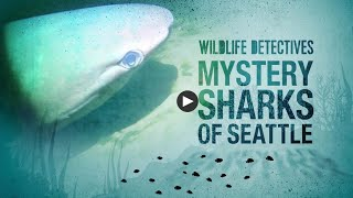 Wildlife Detectives: Mystery Sharks of Seattle