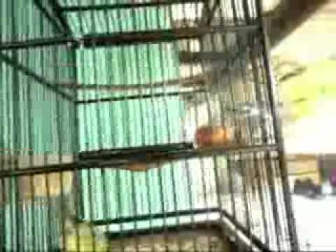 Suara Burung Cito MD