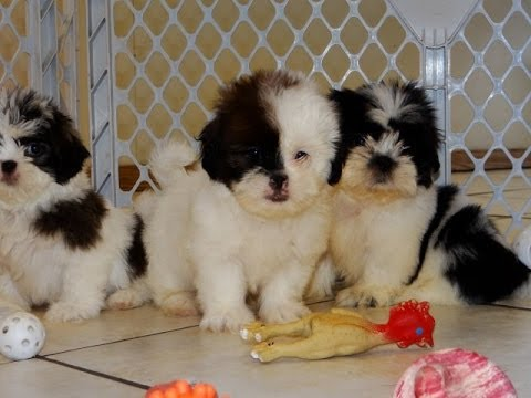 Malti Tzu Puppies Dogs For Sale In Birmingham Alabama Al