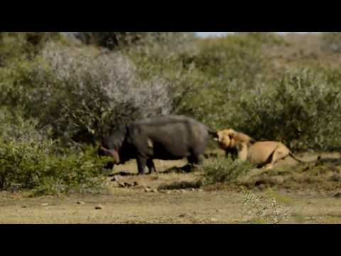 Male lion vs Big Male hippo