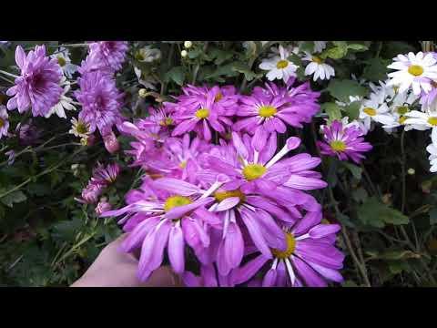 Уникальные сорта хризантемы, цветение