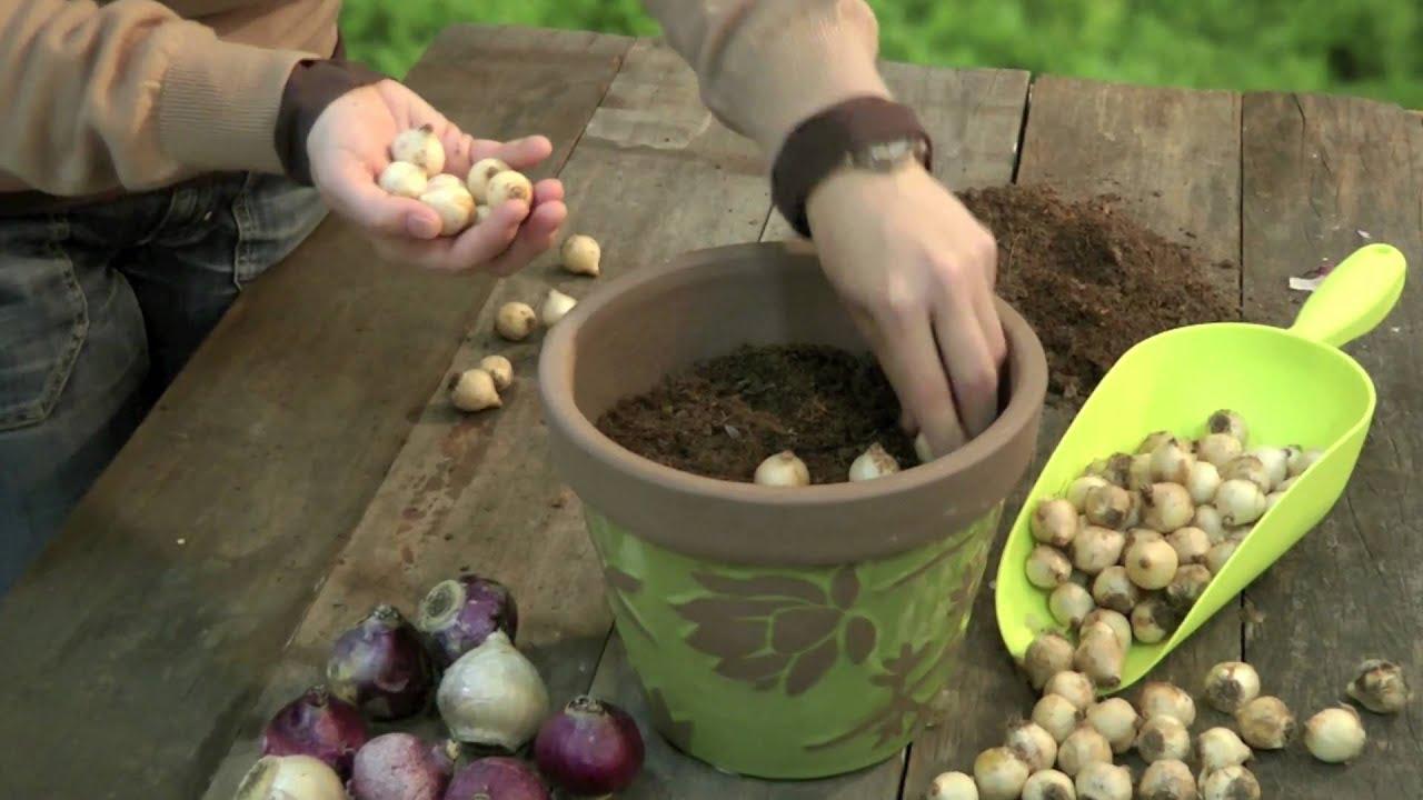 cultivo de tulipanes en maceta