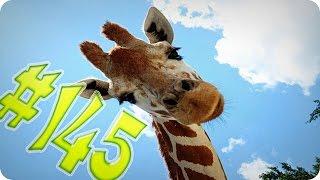 Приколы с животными №145   Милый жираф  Смешные животные  Animal videos