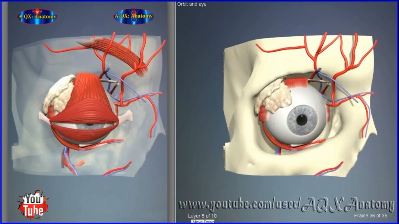 Eye orbit bones | 3D Human Anatomy | Organs - YouTube