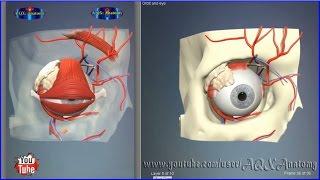 Eye orbit bones | 3D Human Anatomy | Organs