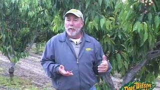 Growing Cherries: Commercial & Home Garden