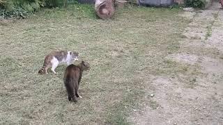 Дивні звуки котів
