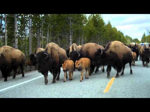 Bison take over Yellowstone Nat'l Park