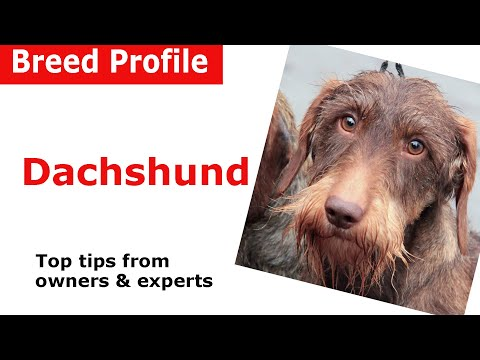 Dachshund Dog Breed Guide