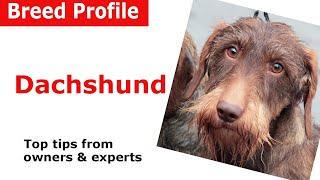Dachshund Dog Breed Guide