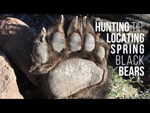 FIND BLACK BEARS! Spring Bear Hunting Tip
