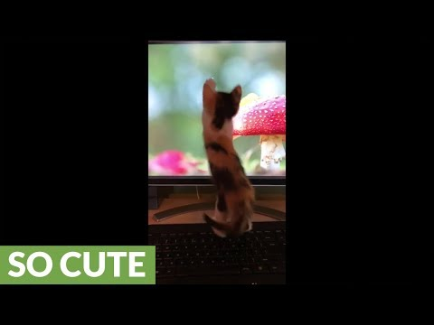 Kitten chases mouse on computer screen