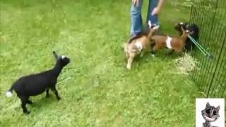 Komik Kedi ve Köpek Videoları