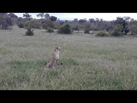 #DeepWildLife Guess Who Come To Say Hi And Happy New Year, #SabiSands #BigCats #Simbambili