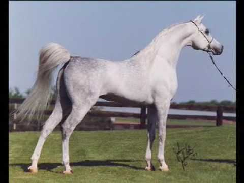 Hadidi ( Norus x Hebet Allah ) 1990 Grey Egyptian Arabian Stallion | Two Silos Horse Farm