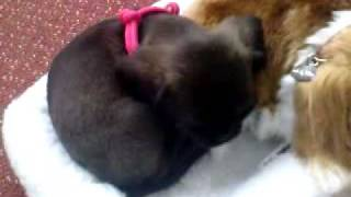 """Ruby Goes To Sleep With A """"precious Petzzz King Charles Spaniel"""" With Breathing Action"""