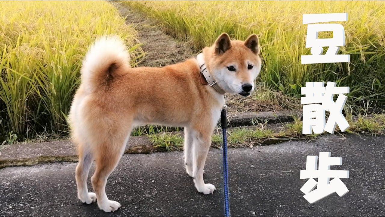 【柴犬】散歩中に一度でいいから入ってみたい場所【豆散歩】