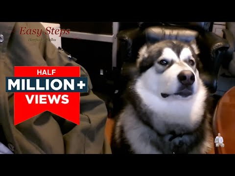 Alaskan Malamute Loves to Talk Back | Talking Dog | Cute Dog