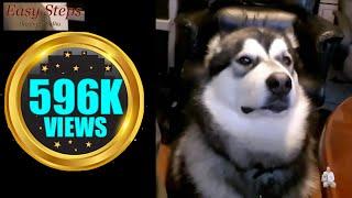 "Alaskan Malamute Loves to talk back | ""Sheru"" the Alaskan Malamute the talking Dog"