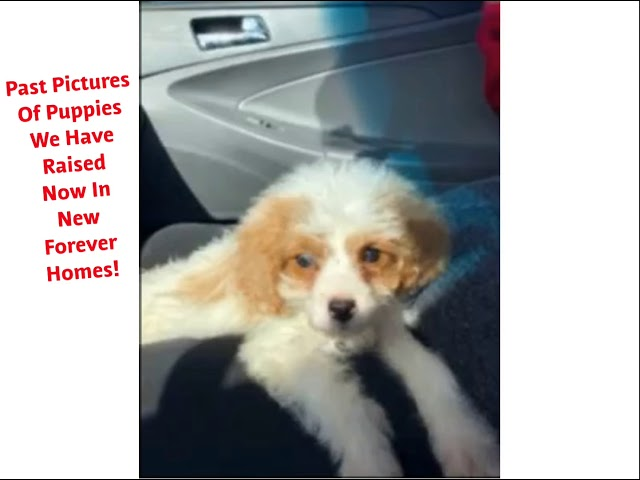 Cavapoo Puppies For Sale/Adoption! We Raise Cavapoo Puppies! Weaver Family Farms