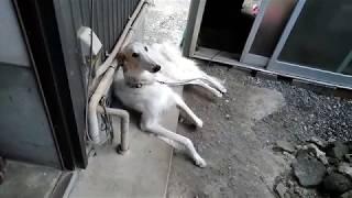 愛犬「ミロン」の品種はボルゾイです。 ボルゾイは、ロシア原産の非常に...