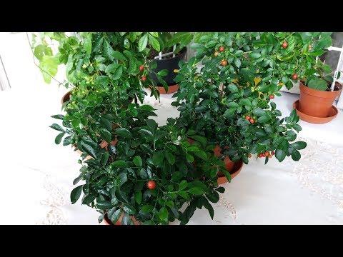 Мурайя пересадка. Хлороз листьев. Трио из взрослых мурайек
