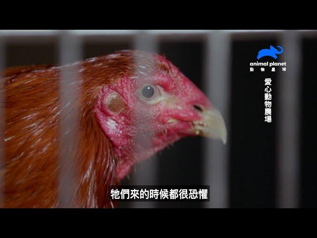 《愛心動物農場》解放鬥雞!前往美國動物收容所拯救真實版憤怒鳥|動物星球頻道