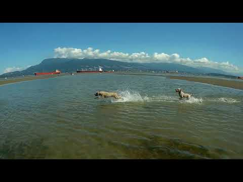 Vancouver Beach with soft-coated Wheaten Terriers August 2017