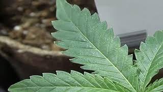 HOT NEWS |  CBS rejects Super Bowl ad for medical marijuana         cleveland.com