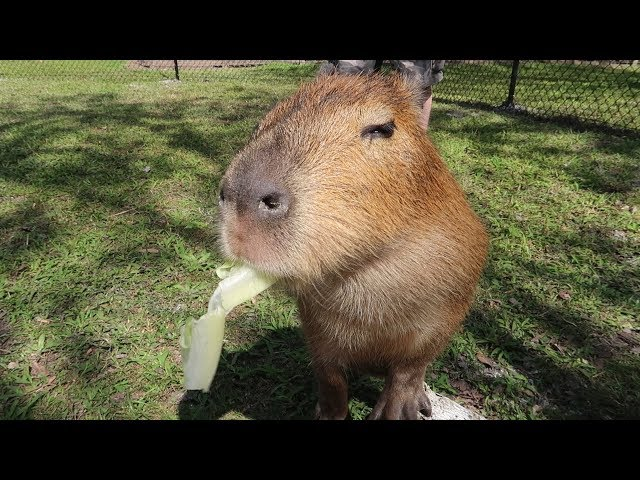 We Met Exotic & Endangered Animals At Amazing Animals! | Capybara, Tortise ASMR & More!