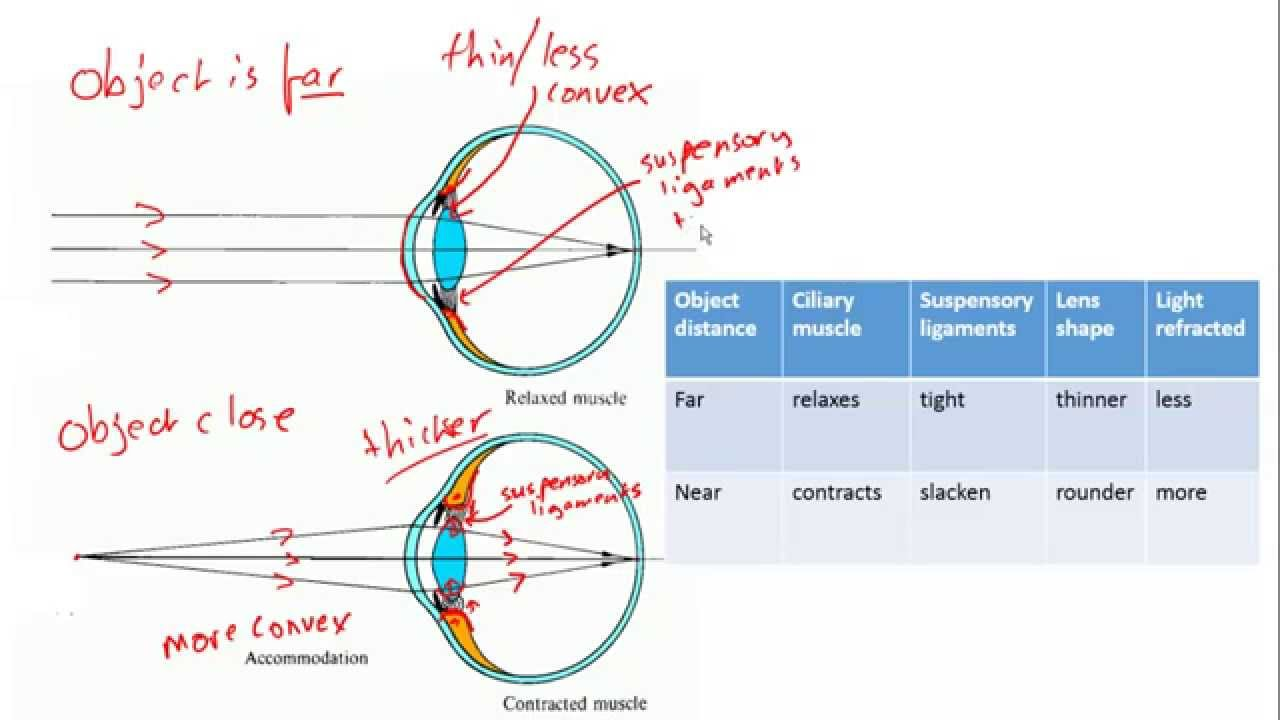 Accomodation in the eye focussing for igcse biology youtube accomodation in the eye focussing for igcse biology ccuart Image collections
