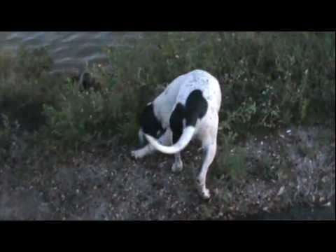 "Lost Arrow (my field name is ""Hunter"") an English pointer retrieving from the water"