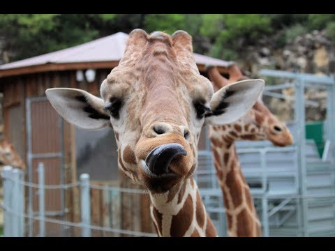 Sandy - Geoffrey The Giraffe From Toys R Us Getting Adopted?!